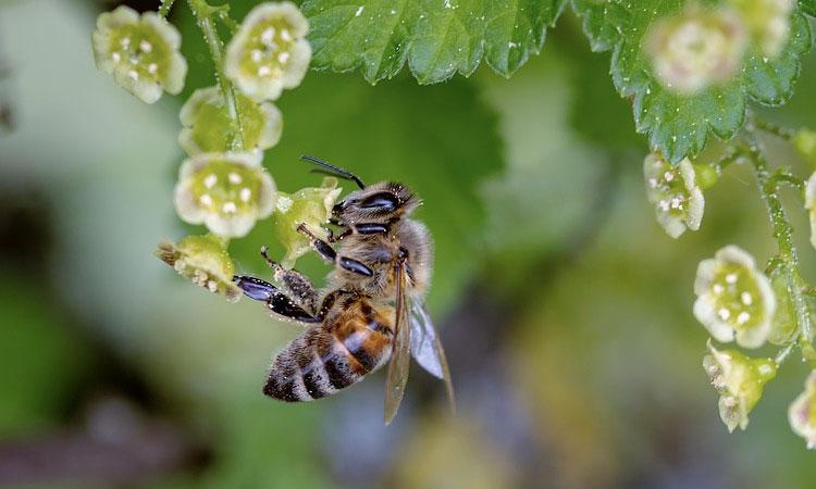 arılar için aşı