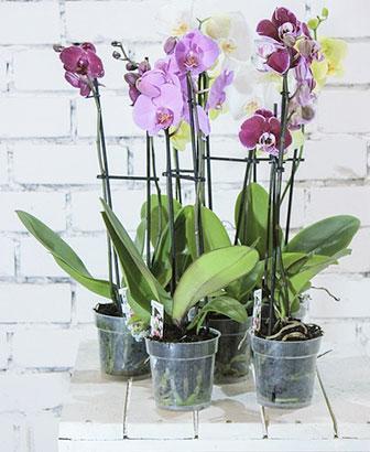 orkide-saksısı